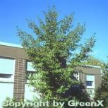 Fächerblattbaum 40-60cm - Ginkgo biloba - Vorschau