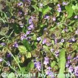 Gundelrebe - Glechoma hederacea - Vorschau