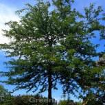 Lederhülsenbaum 40-60cm - Gleditsia triacanthos - Vorschau