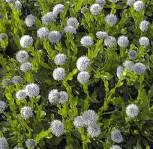 Herzförmige Kugelblume Alba - Globularia cordifolia