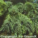Geweihbaum 80-100cm - Gymnocladus dioicus - Vorschau