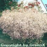 Teppich Schleierkraut Rosenschleier - Gypsophila repens