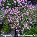 Teppich Schleierkraut hellrosa - Gypsophila repens