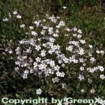 Teppich Schleierkraut weiß - Gypsophila repens