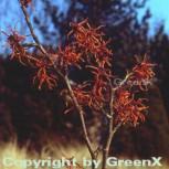 Zaubernuß Feuerzauber 80-100cm - Hamamelis intermedia