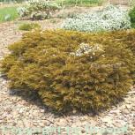 10x Strauchveronika James Styrling - Hebe ochracea