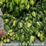 Kaukasischer Efeu Sulphur Heart 80-100cm - Hedera colchica