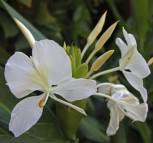 Weißer Ingwer - Hedychium coronarium