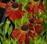 Sonnenbraut Flammenrad - Helenium