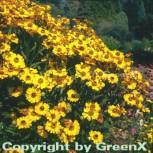 Sonnenbraut Zimbelstern - Helenium - Vorschau