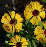 Sonnenbraut Hartmut Rieger - Helenium cultorum - Vorschau