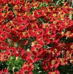 Sonnenbraut Rubinzwerg - Helenium cultorum