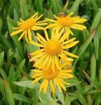 Sonnenbraut - Helenium hoopesii