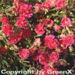 Sonnenröschen Rubin - Helianthemum