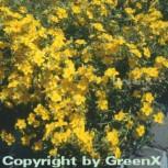 Sonnenröschen Sterntaler - Helianthemum