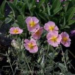 Sonnenröschen Wisley Pink - Helianthemum - Vorschau