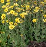 Stauden Sonnenblume - Helianthus atrorubens