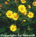 Sonnenblume Capenock Star - Helianthus decapetalus