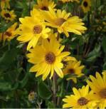 Weidenblättrige Sonnenblume - Helianthus salicifolius - Vorschau