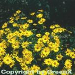 Sonnenauge Karat - Heliopsis scabra
