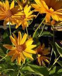 Sonnenauge Spitzentänzerin - Heliopsis scabra - Vorschau