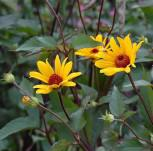 Sonnenröschen Summer Nights - Heliopsis helianthoides