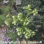 Stinkender Nieswurz . Helleborus foetidus - Vorschau