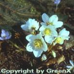 weiße Christrose - Helleborus niger