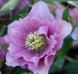 Christrose Lenzrose Ballard - Helleborus orientalis