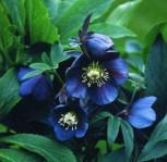 Christrose Lenzrose Blue Lady - Helleborus orientalis