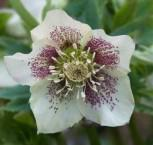 Christrose Lenzrose White Spotted Lady - Helleborus orientalis