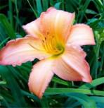 Taglilie Catherine Woodberry - Hemerocallis