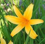 Taglilie Golden Scepter - Hemerocallis - Vorschau