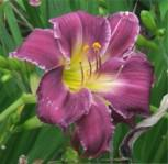 Taglilie Prairie Blue Eyes - Hemerocallis