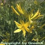 Dufttaglilie - Hemerocallis citrina