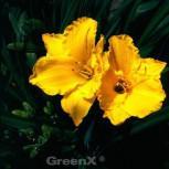 Taglilie Citronella - Hemerocallis cultorum