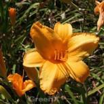Taglilie Copper Summer - Hemerocallis cultorum - Vorschau