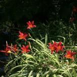 Taglilie Crimson Glory - Hemerocallis cultorum - Vorschau