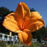 Taglilie Golden Prize - Hemerocallis cultorum - Vorschau
