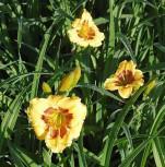 Taglilie Jason Salter - Hemerocallis cultorum - Vorschau