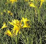 Wiesen Taglilie - Hemerocallis lilioasphodelus
