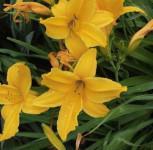Frühe Wiesen Taglilie - Hemerocallis middendorffii