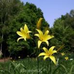 Wilde Taglilie - Hemerocallis - Vorschau