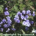 Siebenbürger Leberblümchen Blue Eyes - Hepatica transsylvanica - Vorschau