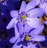 Siebenbürger Leberblümchen Buis - Hepatica transsylvanica - Vorschau