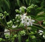 Sieben Söhne des Himmels Strauch 80-100cm - Heptacodium miconioides