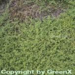 Kahles Bruchkraut - Herniaria glabra