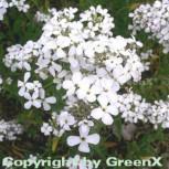 Nachtviole Alba - Hesperis matronalis - Vorschau