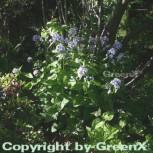 Nachtviole - Hesperis matronalis