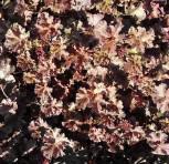 Purpurglöckchen Cappuccino - Heuchera micrantha